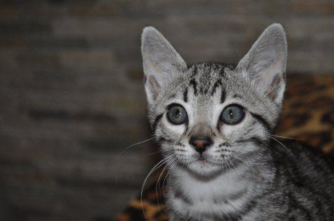 wonderful f4 savannah kittens for Adoption