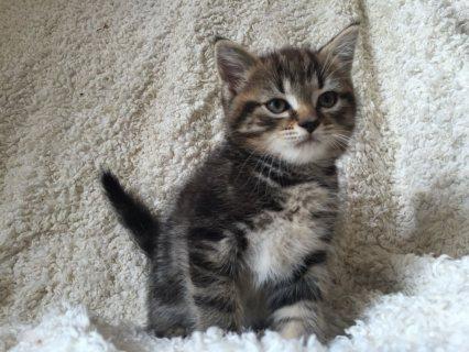 Pedigree Scottish Fold Kittens for Adoption