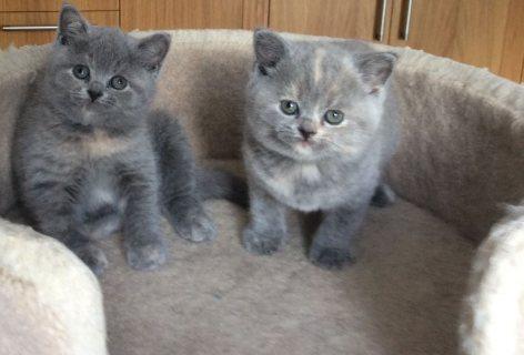 Lovely 10 weeks old British short hair kittens