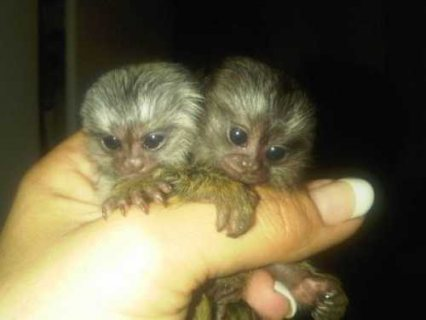 Lovely 10 weeks old Marmoset Monkeys for sale