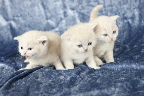 Magnificent British Shot Hair Kittens