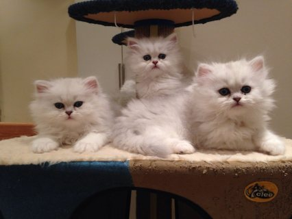 NICE PERSIAN KITTENS FOR FREE ADOPTION