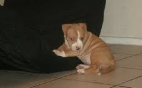 Very beautiful pit bull puppies for adoption....