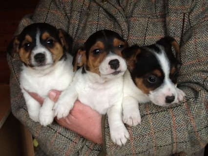 Lovely Jack Russel Puppies looking for a new home!	......