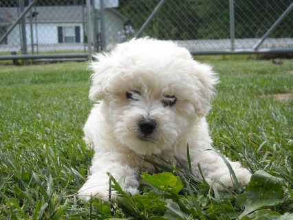 Pure Breed bichon frise puppies for adoption50