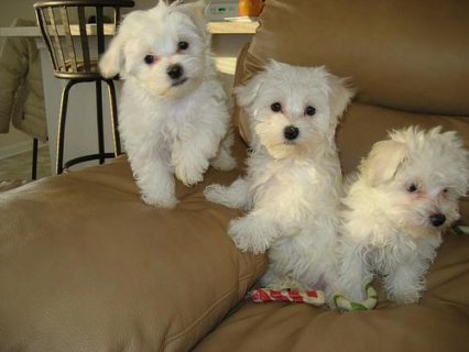 Male  And Female Maltese Puppies Ready To Go Home44
