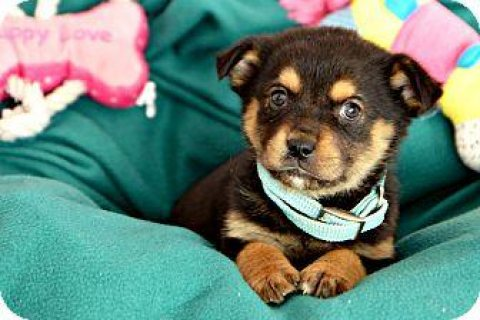 Both Rottweiler Puppies available2222