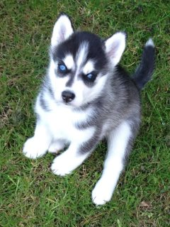 AKC Siberian Husky Puppies Champion Blood Lines33