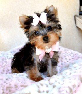 Nice Tea Cup Yorkie Puppies For Adoption44