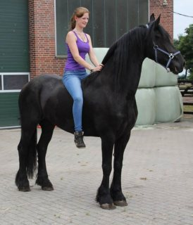 New Friesian Horse Available For Adoption2