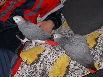 Congo African Grey Parrots for Sale12