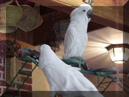 Umbrella Cockatoo Parrots for rehoming	33