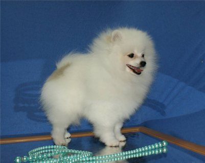 Priceless White Pomeranian Puppies For Adoption