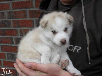 cute siberian huskies ready to go