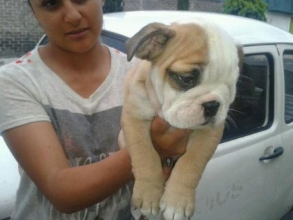 AKC English Bulldog Puppies For Free Adoption