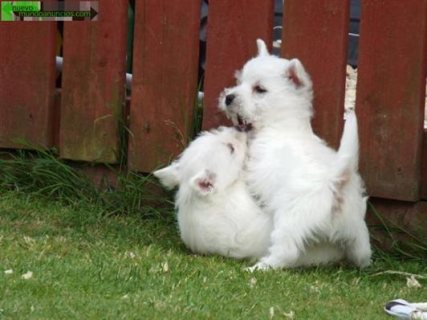 The beautiful west highland terrier puppies