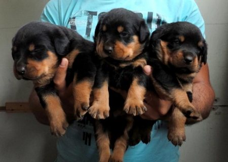 Magnificent gift Rottweiler puppies