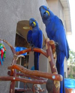 صور Hyacinth Macaw Parrots for sale/.././ 1
