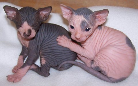 Sphynx Kittens Ready to Go now for sale!!