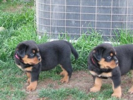 Male and female Rottweiler puppies for sale.please contact us no