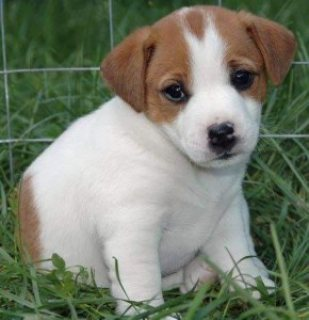 Male and female Jack Russell puppies for sale