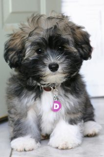 Affectionate Havanese Puppies for Adoption