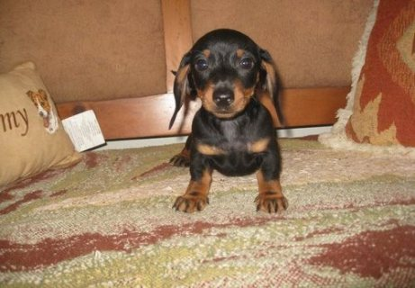 Dachshund Puppies for sale//.././