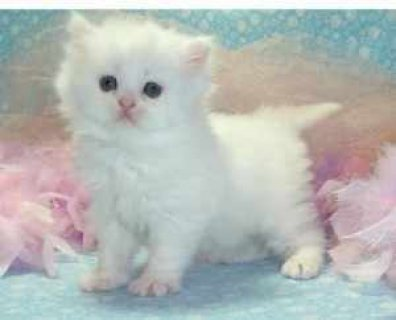 Quality CFA Persian Kittens