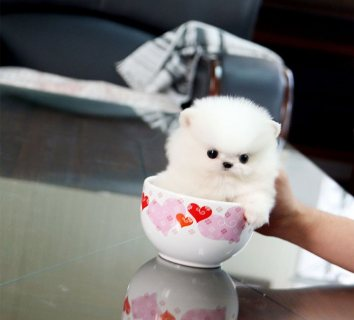 miniature Pomeranian  vaccinated PUPPIES