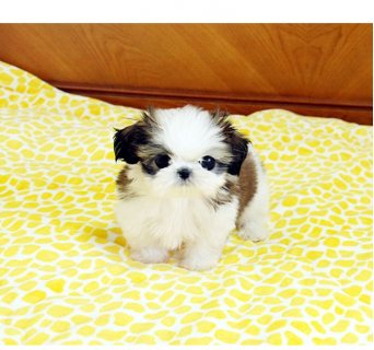 lovely male and female Shih tzu puppies
