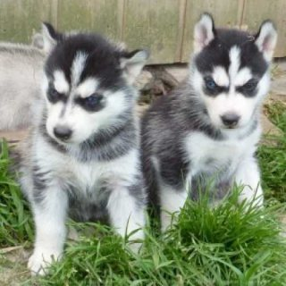 amazing husky puppy for your home