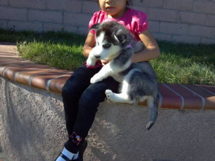 Two Blue Eyes Siberian Husky Puppies ready for adoption.