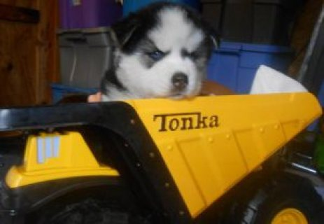 two Blue Eyes Siberian Husky Puppies ready for adoption