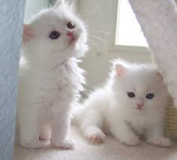 Cute Persian  kittens available for a new home.