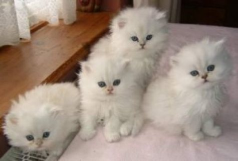 Blue Eyed White Persian Kittens for adoption