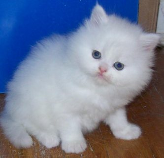 Home Raised Male and female Teacup white Persian kittens for sal