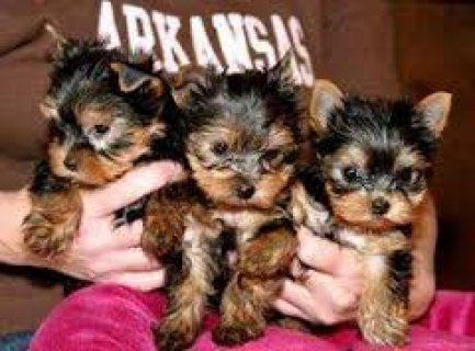Quality Tiny Teacup Yorkie Puppies for sale