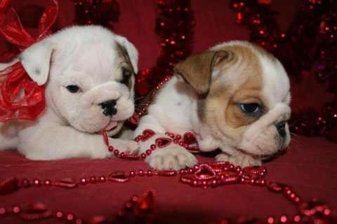 صور Healthy Male and female English Bulldog Puppies to good homes(sa 1