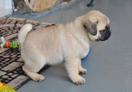 Adorable pug puppies for sale .,,.