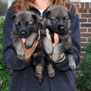 Cute male and female German Shepherd puppies for sale.,,.