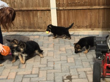 Pedigree German Shepherd puppies.
