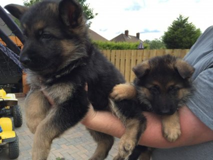 German Shepherd puppies available.