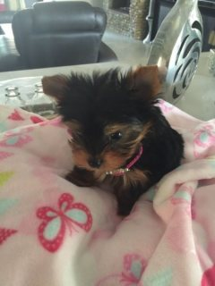Stunning Yorkie puppies available