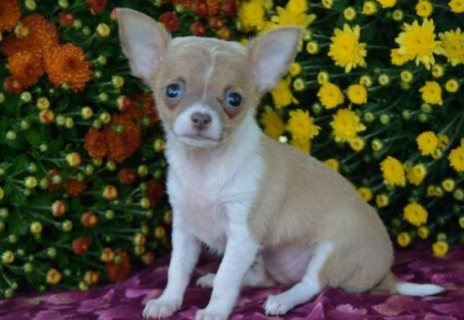 Charming chihuahua puppies for free to good homes,,,,,,,,,