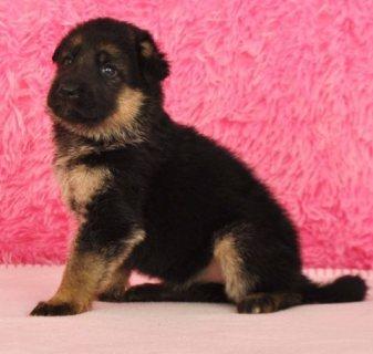 Cute Male and Female German Shepherd Puppies,,....,,.,.,..,,.,.