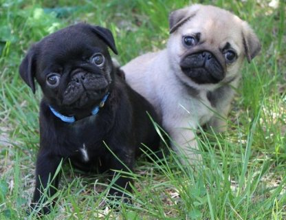 Black And Grey Pug Puppies Availabe For Rehomingvv