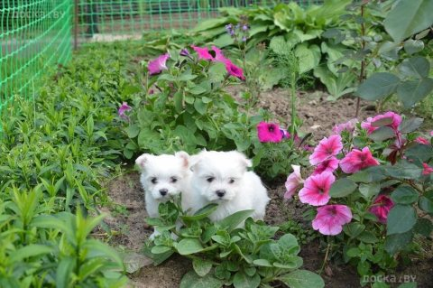 صور Adorable male and female maltese Puppies for sale  1