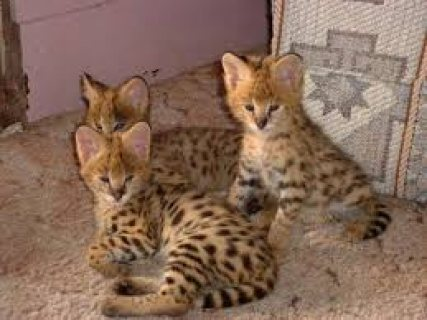 male and female beautiful Serval kittens for sale/.....