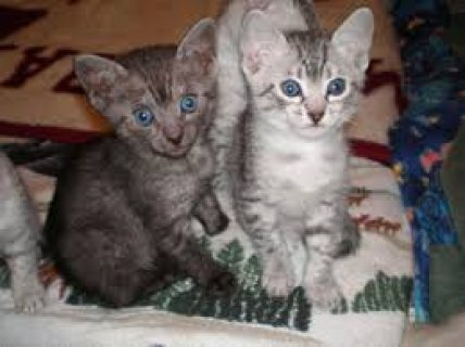 Cute male and female Egyptian Mau Kittens ready for sale .