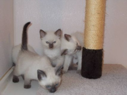 Siamese Kittens available now for sale